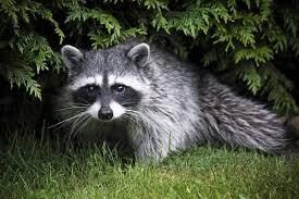 Raccoons In Backyard Raccoon In My Backyard