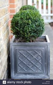 Planter S House by Buxus Plant In Grey Planters Outside Front Door Of House Stock