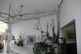 a creeping fig wall indoors u2013 laidback gardener