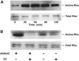 the tumor invasion inhibitor dihydromotuporamine c activates rho