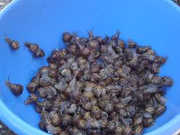 comment cuisiner des escargots greta garbure