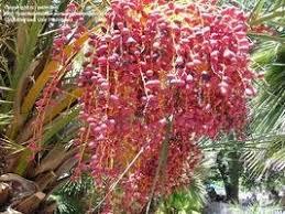 Palm Trees Fruit - edible palms date palms dave u0027s garden