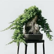 juniper bonsai juniper bonsai tree from enchanted florist this is