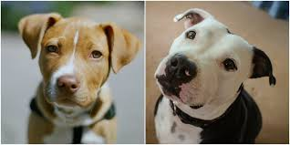 colby american pitbull terrier no you can u0027t judge a pit bull by its face here u0027s why