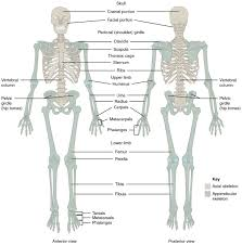 Outline The Anatomy And Physiology Of The Human Body Divisions Of The Skeletal System Anatomy And Physiology