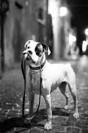 boxer dog black and white pin by julia sepic on boxer pinterest dog