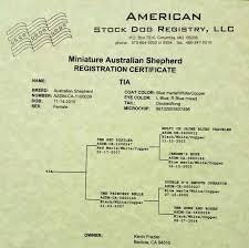 double r australian shepherds australian shepherd puppies pure bred mini u0027s kevin frazier