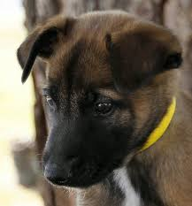 belgian malinois puppies for sale 2016 sold dogs hillside k9 academy training kennel