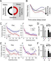 a dynamic deep sleep stage in drosophila journal of neuroscience