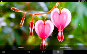 Bleeding Hearts Flowers Heart Flower Live Wallpaper Android Apps On Google Play
