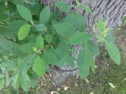 sassafras tree seeds world seed supply