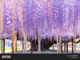beauty rooted large wisteria image u0026 photo bigstock