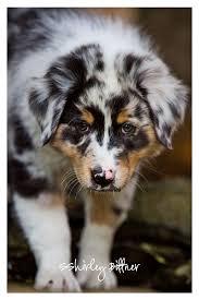 australian shepherd unique names 17 best images about australian shepherd on pinterest dog coat