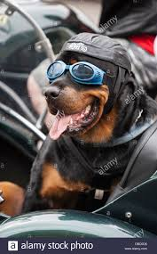 boxer dog on motorcycle dog in a sidecar stock photos u0026 dog in a sidecar stock images alamy