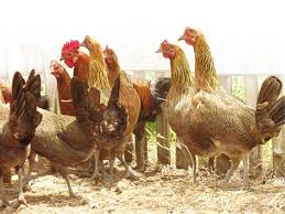 Chickens For Backyards by Raising U0027darag U0027 Chickens From Backyards To Farms Inquirer News