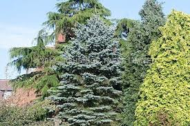 blue spruce trees blue spruce trees buy online ashridge nurseries