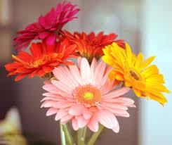 Gerbera Daisies Bulk Discount Flowers Peach Gerbera Daisy