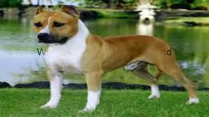 american pit bull terrier breed standard difference between pitbull and amstaff youtube