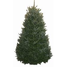 10ft christmas tree shop 9 10 ft fresh fraser fir christmas tree at lowes