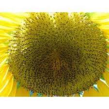 sunflower seeds at rs 60 kilogram sunflower seeds id 3943192312