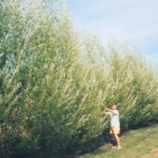 fast growing privacy windbreak screening trees for sale