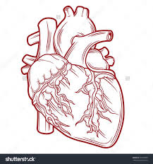 7 best anatomical heart images on pinterest anatomical heart