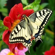 simplified image of butter fly butterfly 16262