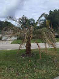 sylvester date palm tree new transplanted sylvester palm doesn t look in shape