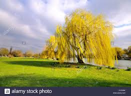 yellow weeping willow tree on river bank stock photo 35312415 alamy