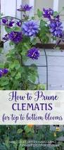 prune clematis for top to bottom blooms clematis gardens and plants