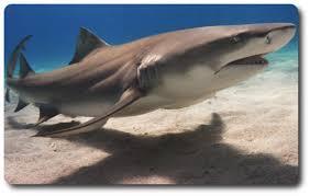 interesting facts sharks lemon shark shark sider