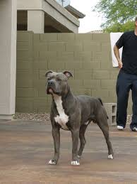 american pitbull terrier kennels in michigan razor edge and gotti pitbull female puppies for sale pitbulls