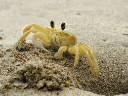 ghost crabs on the outer banks currituck outer banks