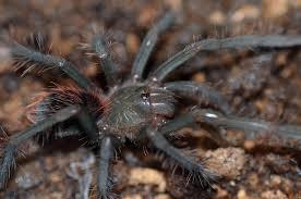 january 2017 tarantula of the month xenesthis immanis tarantulas