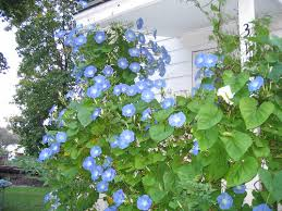 heavenly blue morning glories i sure hope mine grow to be this