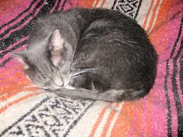 understanding rippling skin disorder feline hyperesthesia