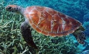 imagenes tortugas verdes tortugas verdes chelonia mydas reproduccion alimentacion habitat