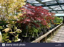 japanese maple trees in nursery for sell the shade norfolk