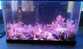 kenya tree coral farm corals for sale 9 17 2103 gallery