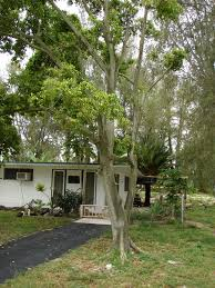 weeping fig plant information growing and caring for weeping