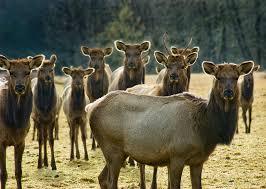 Oregon wildlife images File flickr oregon department of fish wildlife 2313 elk cows jpg