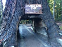 Chandelier Tree California World Chandelier Tree California Curiosities Chandelier