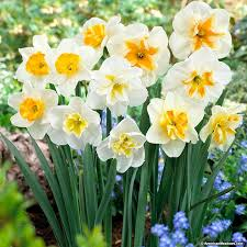 butterfly daffodil bulbs mix american meadows
