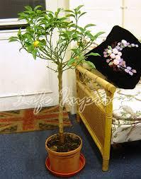 stand mature scent kumquat citrus orange fruit indoor tree house