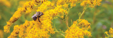 Flowers Bees Pollinate - bumble bees as pollinators clemson university south carolina