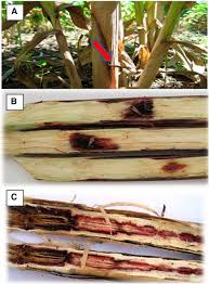 genome wide association study on resistance to stalk rot diseases