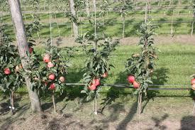 mini apple tree maloni sally for sale buy apple trees