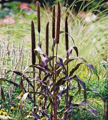 124 best garden ornamental grasses images on plants