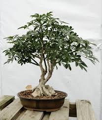 for oklahoma grower creating bonsai trees no small task news ok