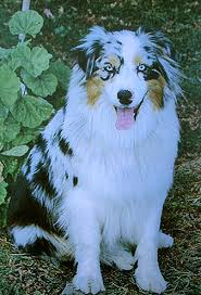 8 year old australian shepherd 2010 august for the love of the dog